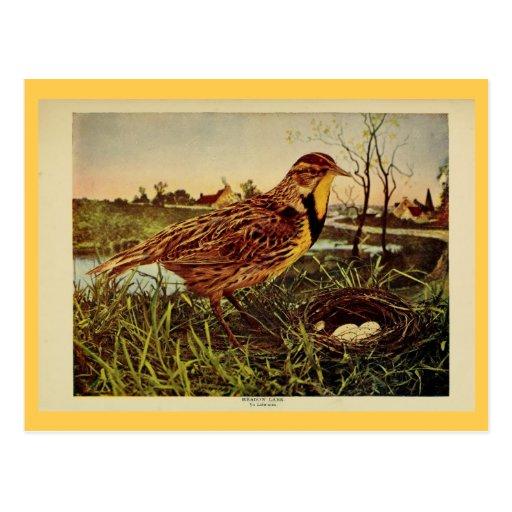 Vintage meadow lark color litho photo postcard