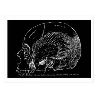 Vintage Medical Drawing Human Temporal Muscle Postcard