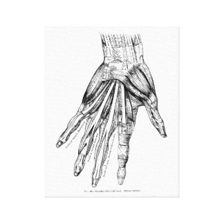 Vintage Medical Drawing Muscles of the Hand Canvas Print