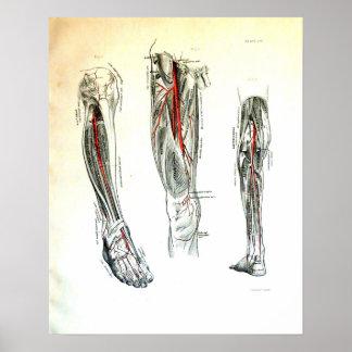 Vintage medical illustration of the leg poster