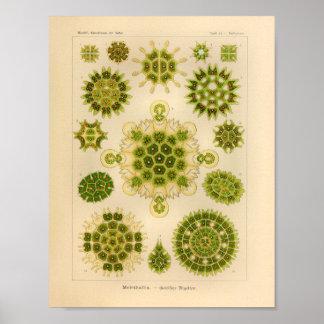 Vintage Melethallia Color Ernst Haeckel Art Print
