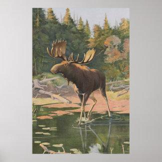 Vintage Moose Illustration (1902) Poster