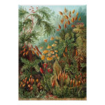 Vintage Moss Plants by Ernst Haeckel, Muscinae Poster