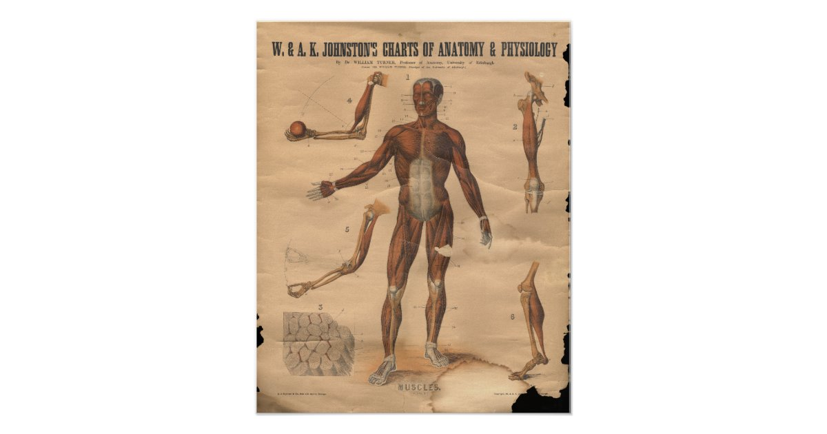 Vintage Muscles Anatomy Chart 1906 Zazzle