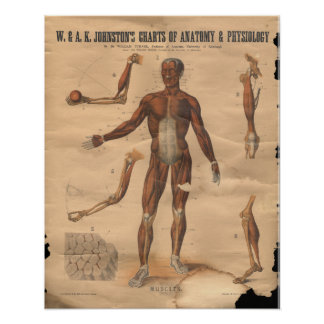 Vintage Muscles Anatomy Chart 1906 Poster