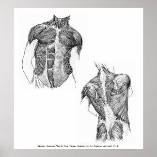 Vintage - músculos humanos de la anatomía impresiones