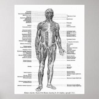 Vintage - músculos humanos de la anatomía posters