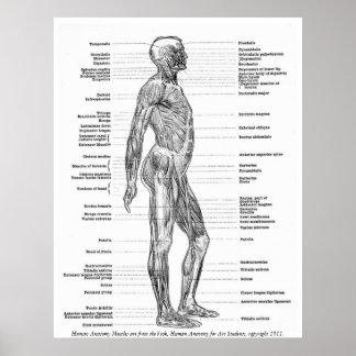 Vintage - músculos humanos de la anatomía póster