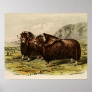 Vintage Muskoxen Print