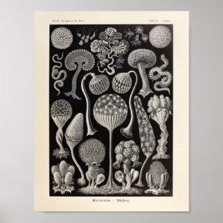 Vintage Mycetozoa Ernst Haeckel Art Print