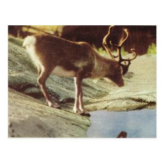 Vintage Noruega, Reindee que bebe en una corriente Postales