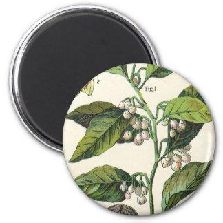 Vintage Nutmeg Plant Fruit Seeds, Food Herbs Spice 2 Inch Round Magnet
