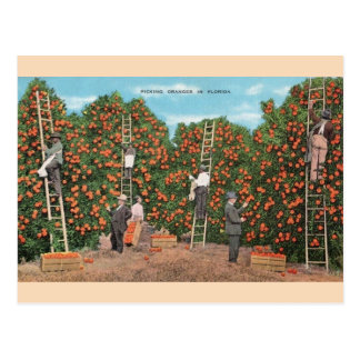 Vintage Orange Picking in Florida Postcard