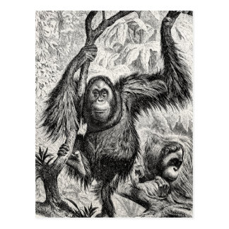 Vintage Orangutan Illustration -1800's Monkey Postcard