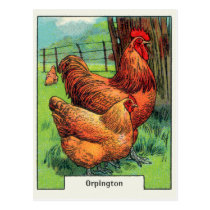 Vintage Orpington Chicken Postcard
