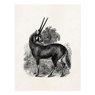 Vintage Oryx Antelope Gazelle Personalized Animals Postcard