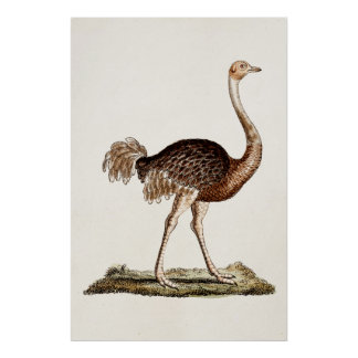 Vintage Ostrich Illustration Retro 1700s Ostriches Poster