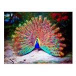 Vintage Peacock Painting Postcard