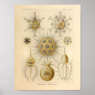 Vintage Phaeodaria Color Ernst Haeckel Print