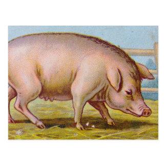 Vintage Pig Illustration Post Cards