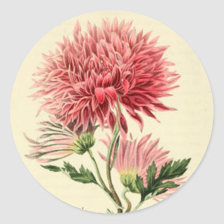 Vintage Pink Chrysanthemum Flower Classic Round Sticker