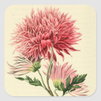 Vintage Pink Chrysanthemum Flower Square Sticker
