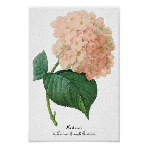 Vintage Pink Hydrangea Hortensia Flower by Redoute Poster