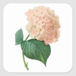 Vintage Pink Hydrangea Hortensia Flower by Redoute Square Sticker