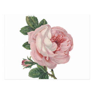 Vintage Pink Rose Flowers - Love, Miss You, Hello Postcard