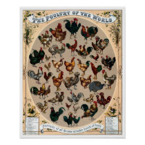 Vintage poultry birds chickens and roosters chart
