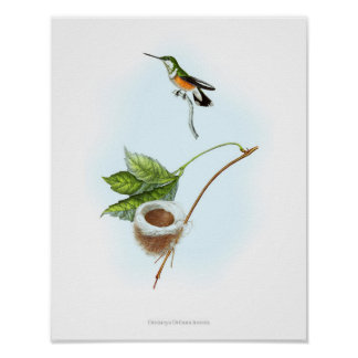 Vintage print, colorful art poster of Hummingbird
