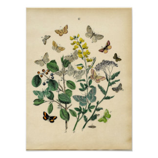 Vintage Print - Lepidoptera - Moths & Butterflies