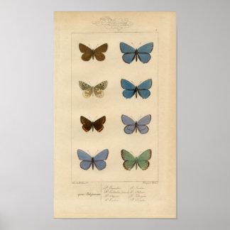 Vintage Print - Polyommatus - Moths & Butterflies