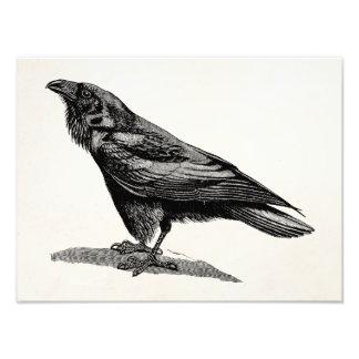 Vintage Raven Crow Blackbird Bird Illustration Photo