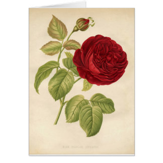 Vintage Red Cabbage Rose Card