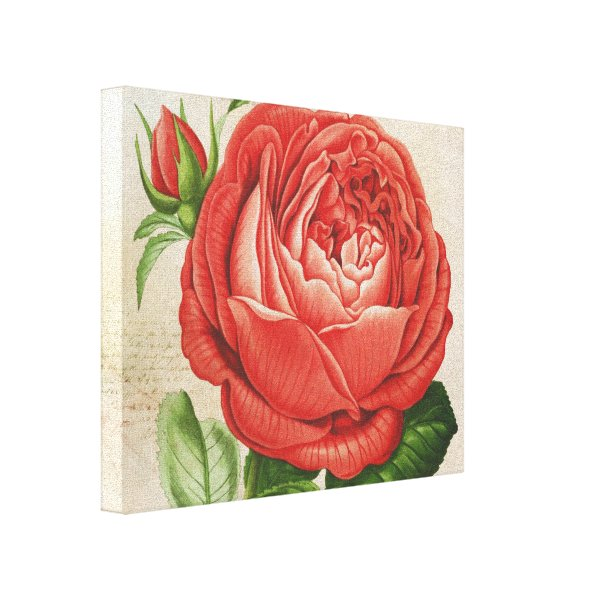 Vintage Red Hybrid Perpetual, Paul Neyron Rose Canvas Print