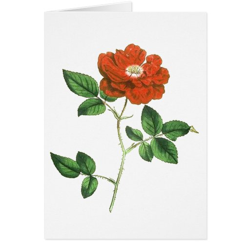 Vintage Red Rose Illustration Greeting Card
