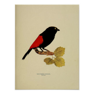 Vintage red rumped tanager color photo poster