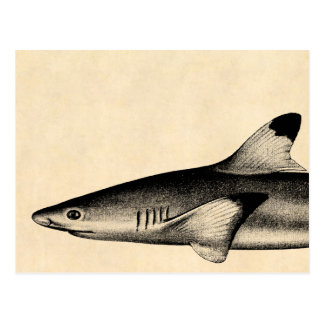 Vintage Reef Shark Illustration Black Tipped Postcard