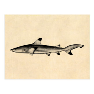 Vintage Reef Shark Illustration - Black Tipped Postcard