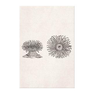 Vintage Sea Anemone Antique Parchment Template Gallery Wrapped Canvas