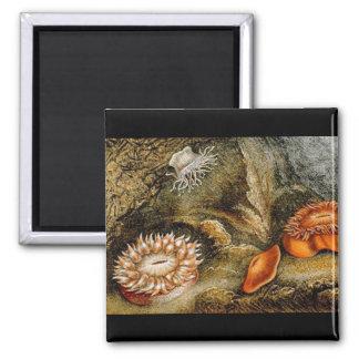 Vintage Sea Anemones 2 Inch Square Magnet