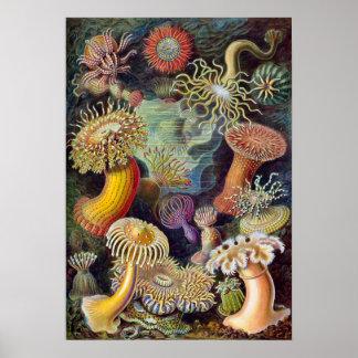 Vintage Sea Anemones, Actiniae by Ernst Haeckel Poster