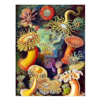 Vintage Sea Anemones, Ernst Haeckel Post Cards