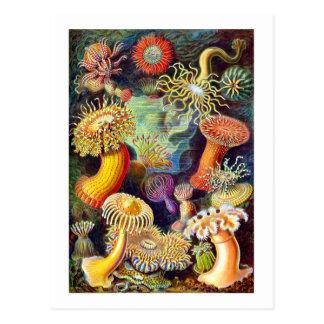 Vintage Sea Anemones, Ernst Haeckel Postcards
