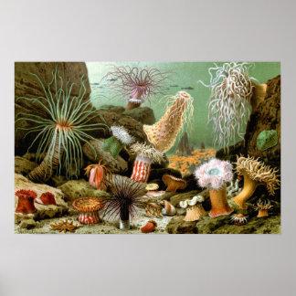 Vintage Sea Anemones, Marine Life Animals Poster