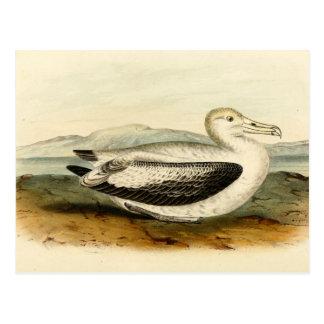 Vintage Short Tailed Albatross Bird Postcard