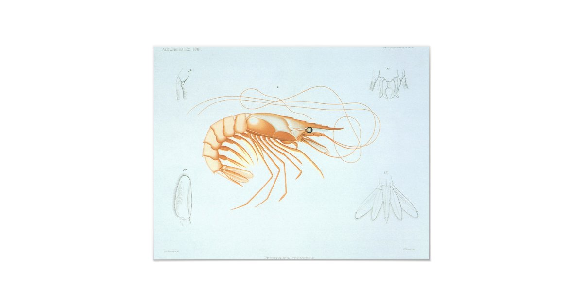 Vintage Shrimp Anatomy, Ocean Animals Invitation | Zazzle.com