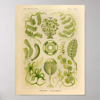 Vintage Siphoneae Color Ernst Haeckel Art Print