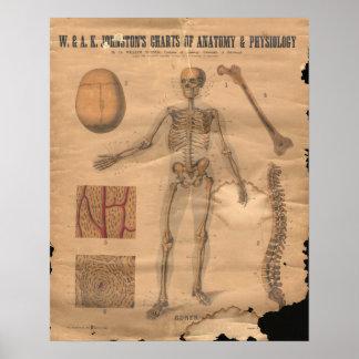 Vintage Skeletal Bones Anatomy Chart 1906 Posters
